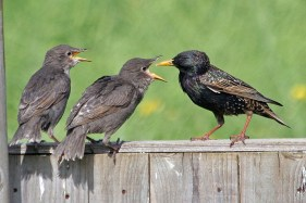 starling feed