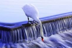 Sudbury Swan John Orourke