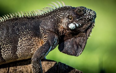iguana-in-the-wild-rob-furlong
