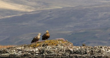 white-tailed-sea-eagles-rest-on-the-isle-of-mull-by-richie
