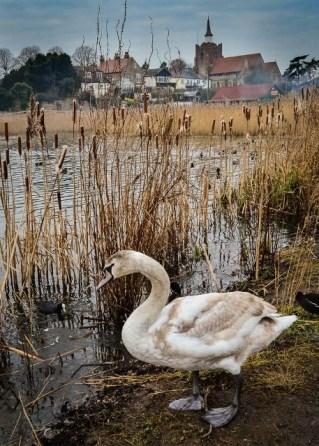 Swan at The Prom (Karen M)