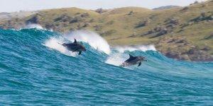 echo il delfino