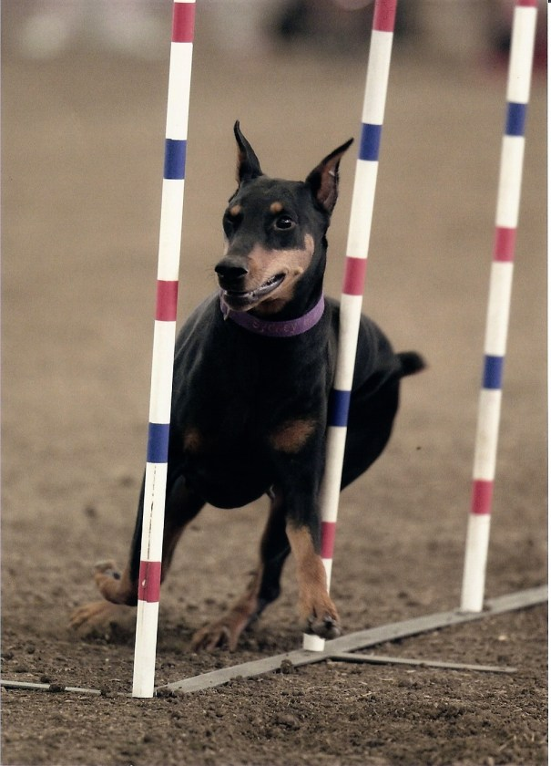 Sidney in the Weave Poles