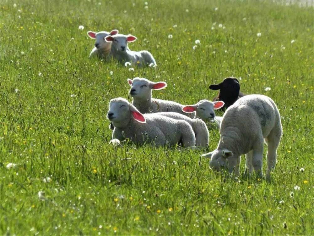 Schafe auf dem Deich an der Nordsee Küste Schleswig-Holstein