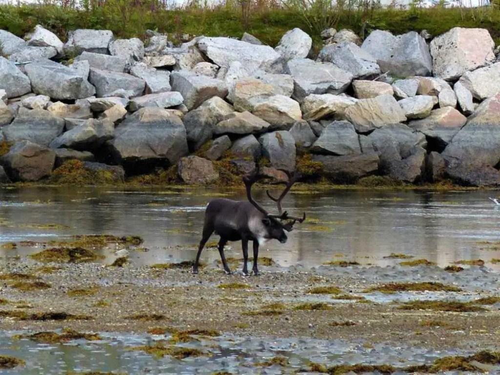 Rentiere bei Ebbe an der Küste Norwegens.