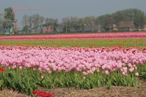 Keukenhof bulb fields