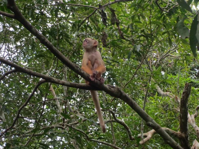Macaco - Manaus