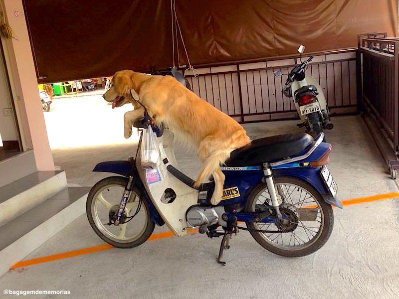 tailandia_moto dog