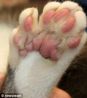 This Polydactyl Cat Has Seven Toes