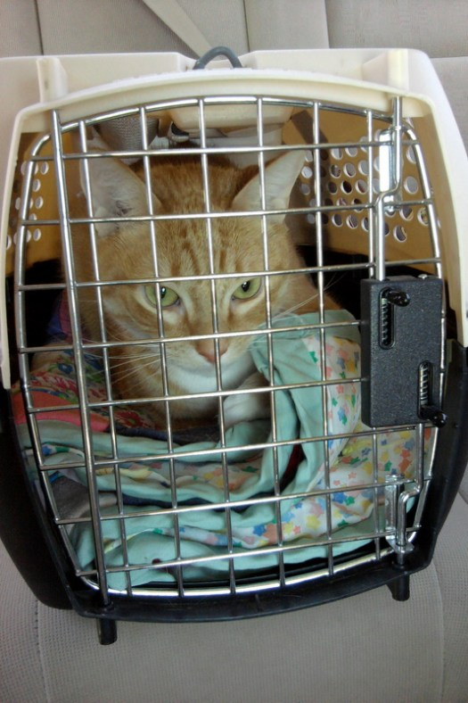 Annoyed Cat in Carrier