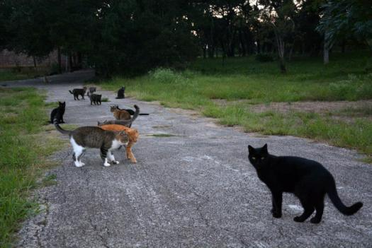 Many Members of the Orphan Cat Colony in Austin, Texas