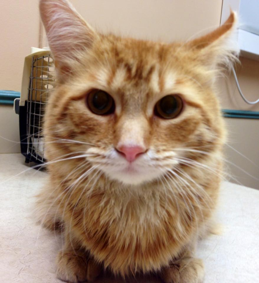 Michigan Cat Rescue Adopted Out Chester