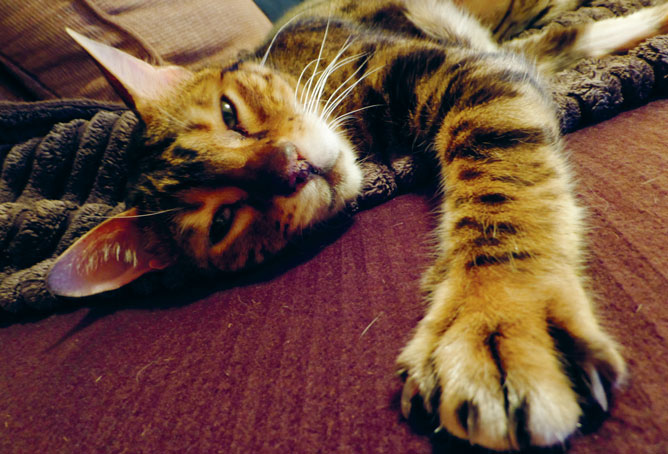 My Fellow Bengal Cat Dougal Has Been Through a Lot