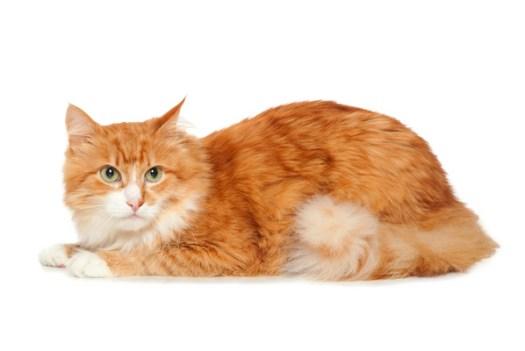 Let's Save an Orange Tabby Diabetic Cat