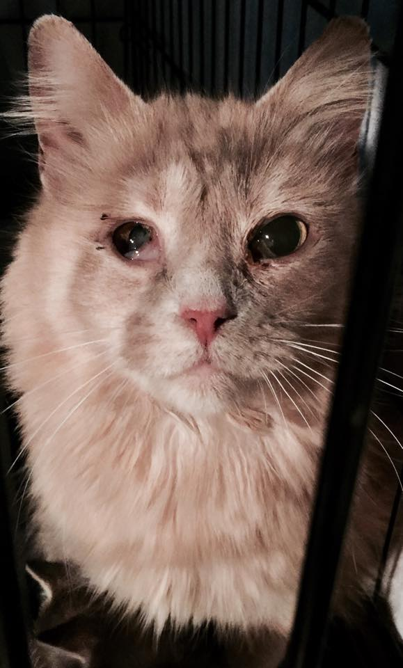 Creamsicle Was Saved by Michigan Cat Rescue