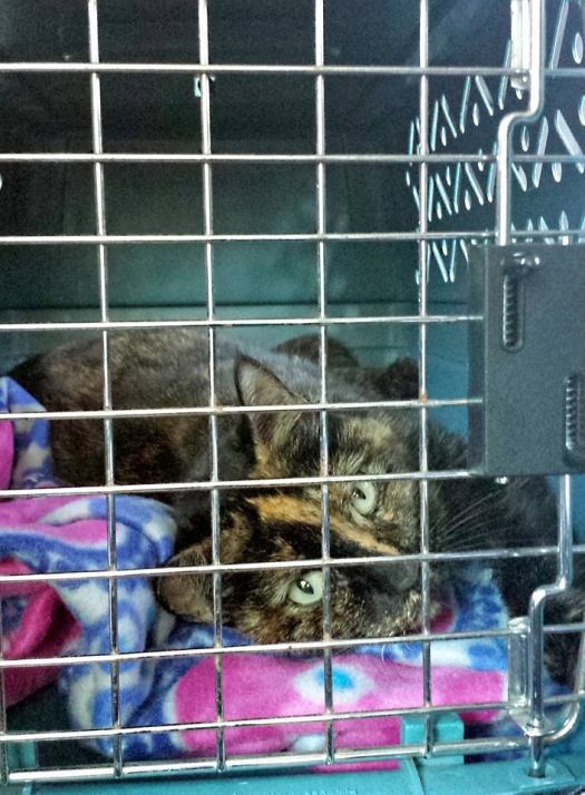 Special Needs Cat Cara Recovering from Surgery