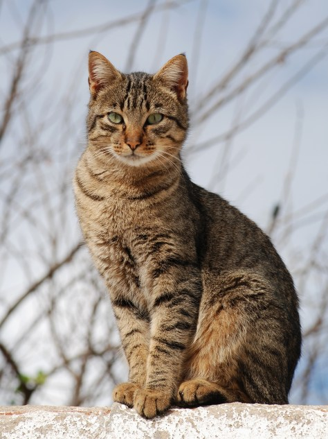 A Good Looking Tabby Cat
