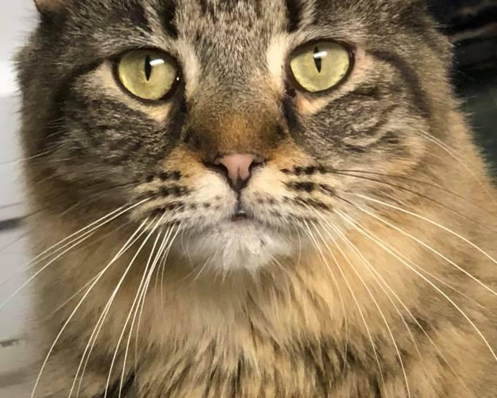 Michigan Cat Rescue's Lollipop