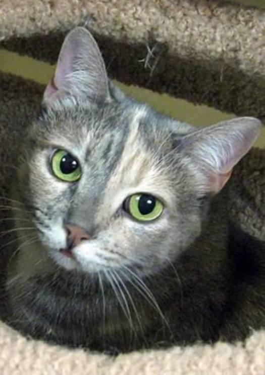 Diabetic Cat Agatha Bella Needs a Home