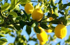 Quale futuro per il limone bagherese?