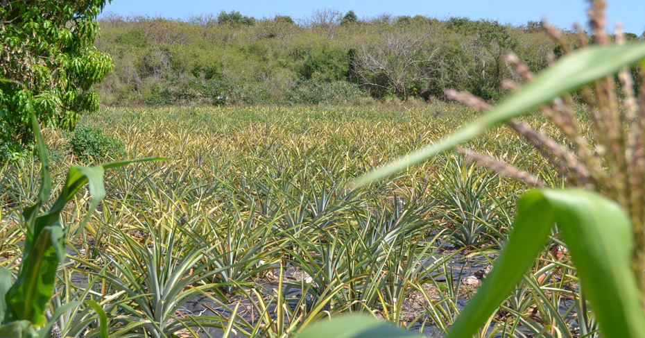 Gregory Town Eleuthera pineapple fields of Eleuthera Island. Take direct flight to Eleuthera with Bahamas Air Tours from Florida or a one day Bahamas cruise.