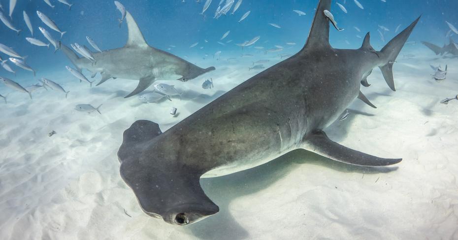 Bimini Cruise Hammerhead shark on a one day cruise to bimini from Florida. Flights to bimini with bahamas charter flights.
