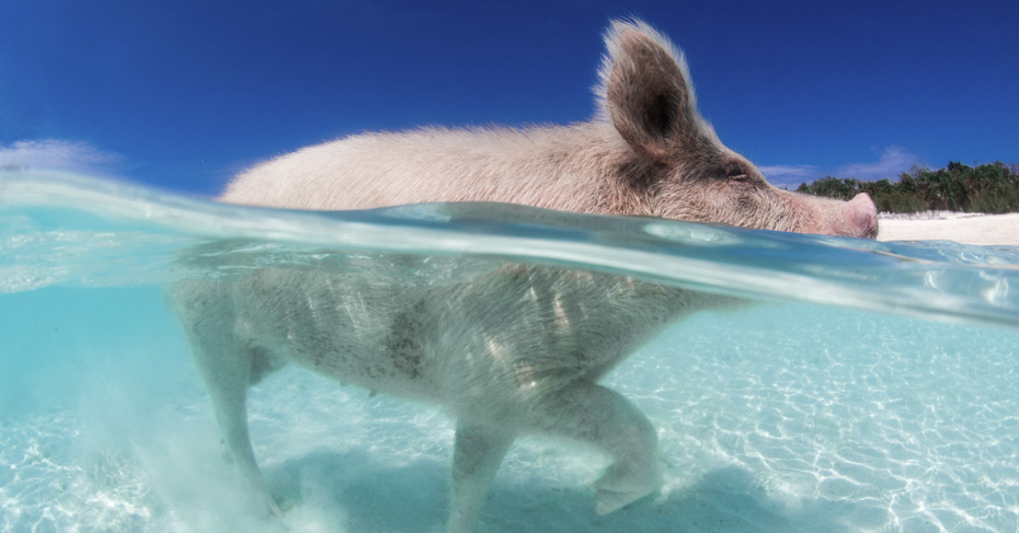 Pig Island Bahamas Tour. take a day trip to Bahamas with Bahamas Air Tours and discover the swimming pigs Bahamas tour. The Exuma pigs tour is one of the best things to do in Bahamas.