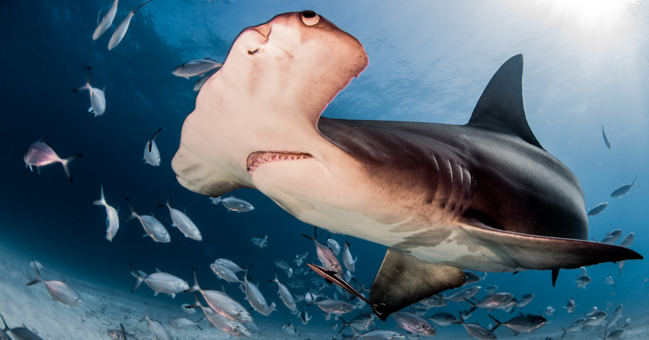 Scuba Diving Freeport Bahamas and Bimini. Explore the sharks around Bimini on a Bahamas Island Hopping tours. Explore the best diving in the Caribbean