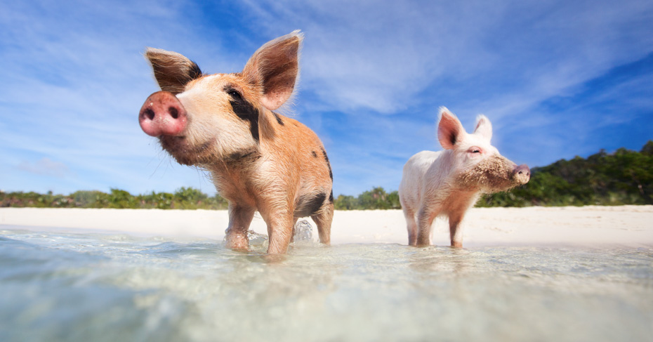 Best Bahamas Beach Pig Island Bahamas Tour on a day trip to Bahamas with flights from florida to Bahamas. Swim with pigs excursion from Staniel cay in the Exuma Cays with bahamas air tours. The ultimate Exuma pigs tour!