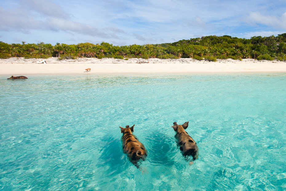 Exuma pigs of the Bahamas in the Out Islands of the Exumas. One of the top things to do in Exuma Bahamas is visiting these famous swimming pigs at Staniel Cay