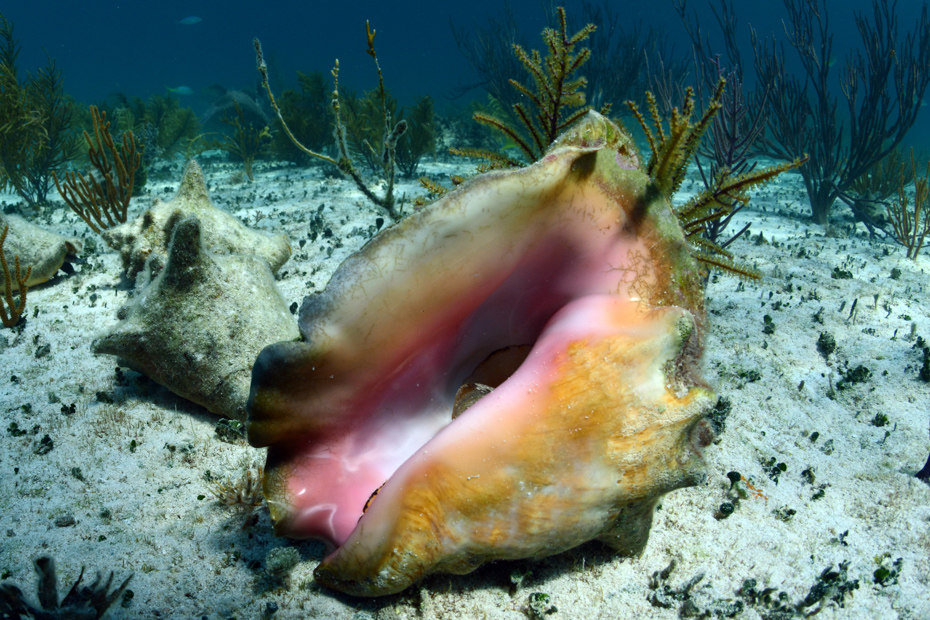Bahamas conch shell underwater. Go diving and snorkelling with Bahamas Air Tours to discover the best of the Bahamas conch