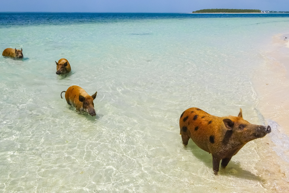 Treasure Cay Bahamas Swimming Pigs tours to the Beautiful Pig Beach, Bahamas in the summertime. Pig Beach is located in the Abaco Islands.