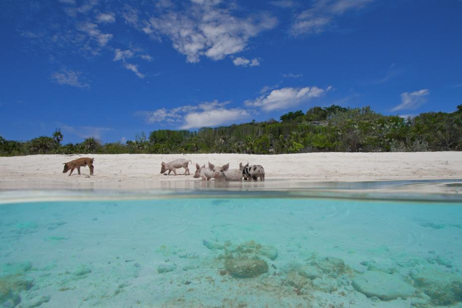 pig-beach-bahamas-tour-pig-island - Bahamas Air Tours