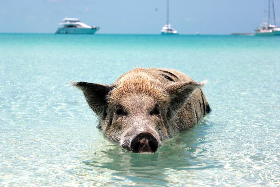A pig swimming at Pig Beach Bahamas, Big Majors Cay, Exumas, Bahamas. Pig Beach Exumas swimming pigs on a Bahamas Day tour of Pig Island from Nassau to Pig Beach Bahamas Tour.