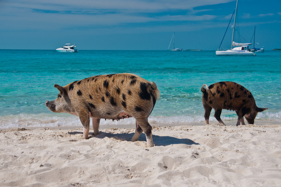 Wild pigs on Big Majors Island in The Bahamas, A Day Trip to Bahamas from Fort Lauderdale Bahamas Day Trip is one of the most fascinating excursions of Florida Attractions. Day Trips to Bahamas Cruise from Fort Lauderdale are often popular but by plane is even better. A ferry from Fort Lauderdale to Bahamas is often very crowded and not as luxurious as a private plane. A day cruise Fort Lauderdale to Bahamas by plane is the only way to see the entirety of the islands.