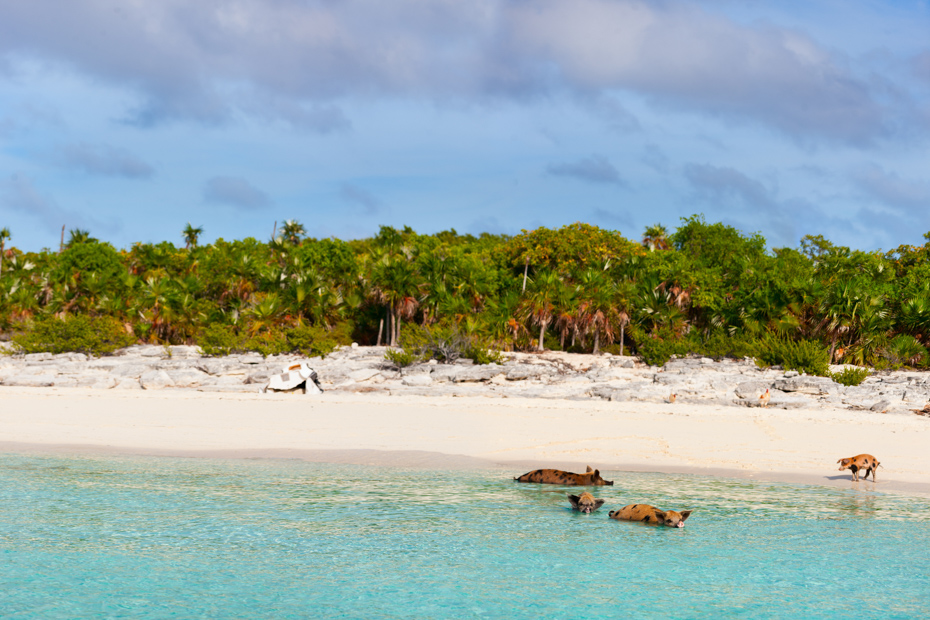 Tropical beach with swimming pigs of the Bahamas in the Out Islands of the Exumas. How to get to Pig Beach on a Staniel Cay Day Trip by Plane