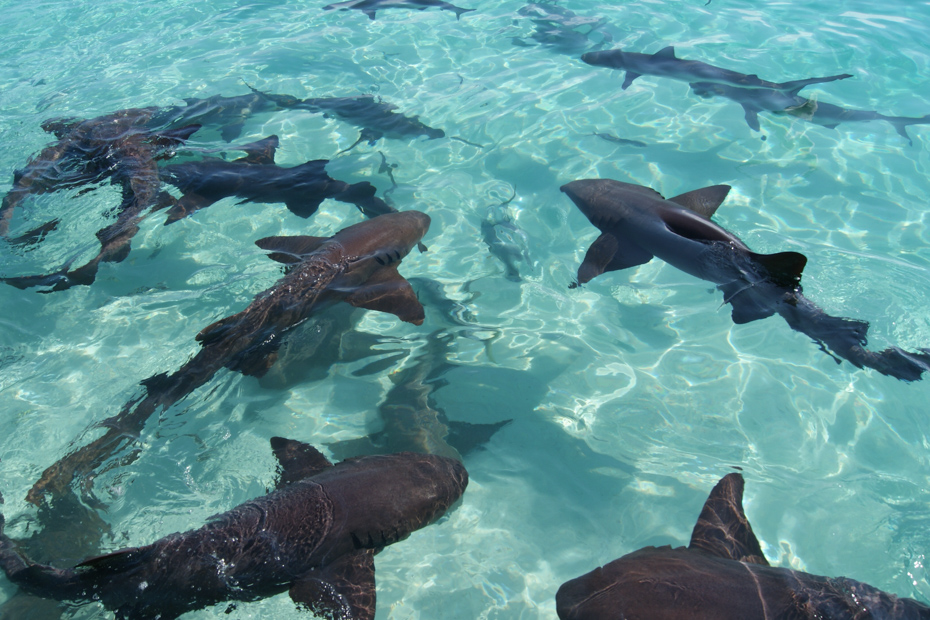 Compass Cay swim with Sharks. Nurse and reef sharks in the turquoise crystal clear waters of the Exumas, Bahamas