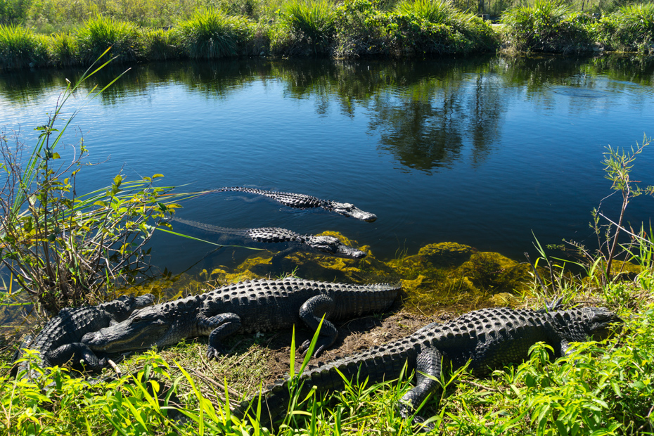 Herd of crocodiles enjoying the sun in everglades national park with Everglades Airboat tours and the best things to do in Florida.