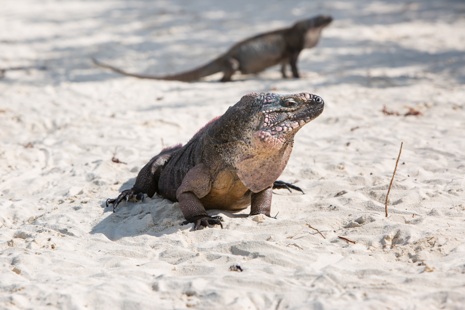 Endangered species of iguana live only on Exuma island, Bahamas. Join the Staniel Cay Tours on any of the many Staniel Cay Day Trips from Miami.