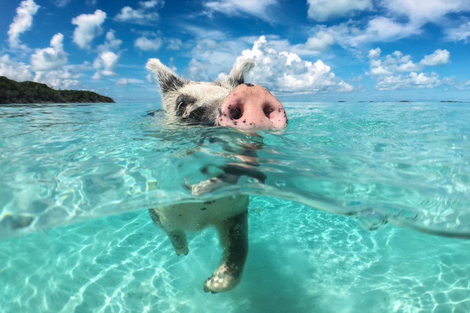 Swimming Pigs Bahamas at Staniel Cay. Visit the Exuma Pigs at Pig Beach and Pig Island in the Exuma Cays.