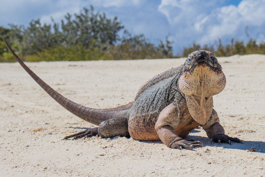 Visit the Staniel Cay Iguanas at Bitter Guana Cay in the Exumas Bahamas