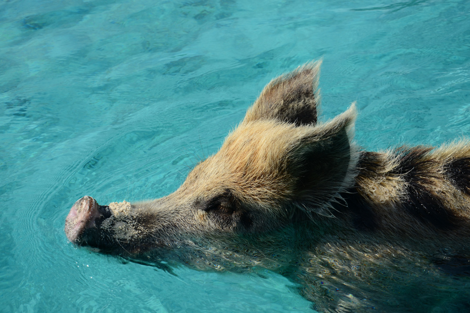 Come swimming with the pigs at Pig Beach! Exuma Pigs are one of the most popular Bahamas attractions.