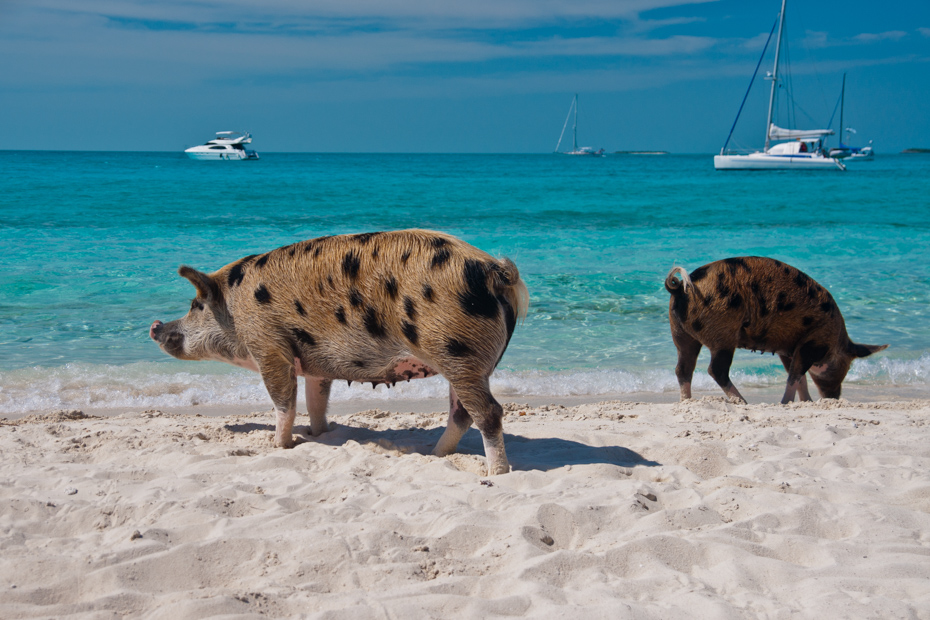 Pig Beach is perhaps the best Bahamas beach. What are the other best beaches in Bahamas? Check out pigs in the Bahamas on a Florida to Bahamas vacation today.
