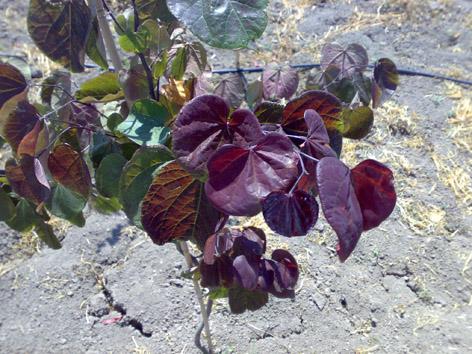 Kırmızı yapraklı Erguvan