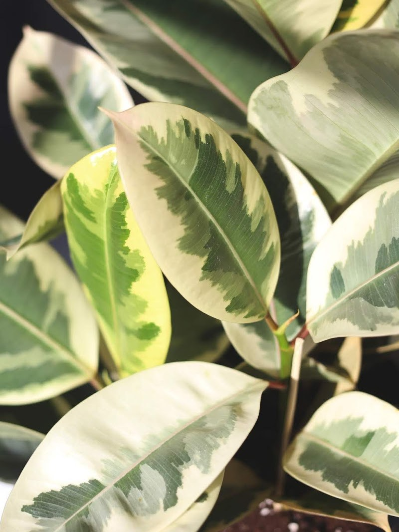 HOUSEPLANT SPOTLIGHT: FICUS TINEKE (VARIEGATED RUBBER PLANT)