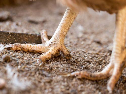 Científicos han crecido piernas de dinosaurio en un pollo por primera vez