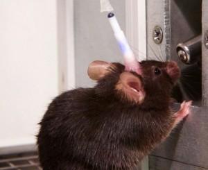 Los científicos registraron las señales cerebrales de ratones que podían moverse y beber libremente.