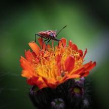 Orange Blüte mit Käfer