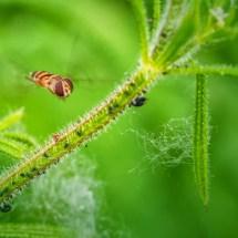 Schwebe-Fliege