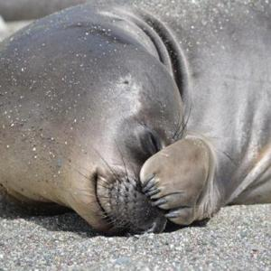 Small front flippers on the elephant seal at Isla San Benito.